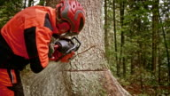 SLO MO Logger making a conventional cut with chainsaw video