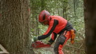Logger making a cut into a tree with chainsaw video