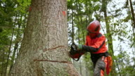 SLO MO Logger making a horizontal cut with chainsaw video