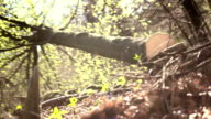HD: Logger Pushing Down A Tree video