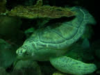 Loggerhead Turtle 2 NTSC video