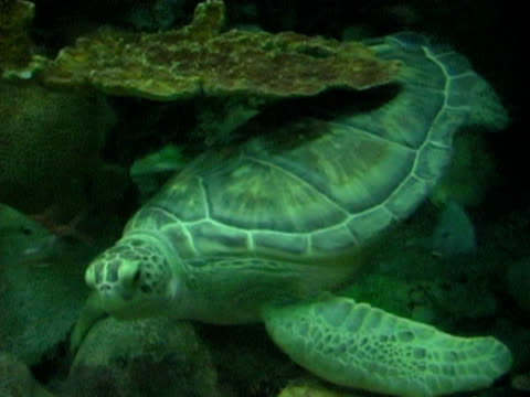 Loggerhead Turtle 2 NTSC video
