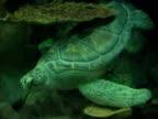Loggerhead Turtle NTSC video