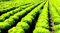 Lollo Bionda Lettuce video