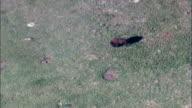 Lone Bull Buffalo  - Aerial View - South Dakota, Custer County, United States video