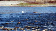 Lone Seagull Taking Bird Bath In American River Sacramento California video