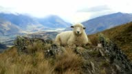 Lone sheep lies on mountain ridge video