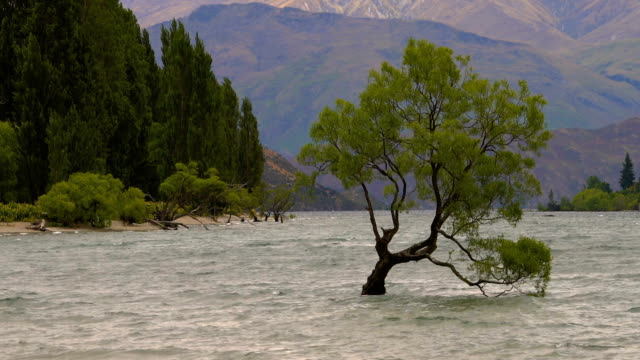 Lone tree in Lake Wanaka, New Zealand video