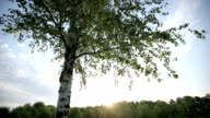 Lonely birch tree at sunset. HD shot with slider video