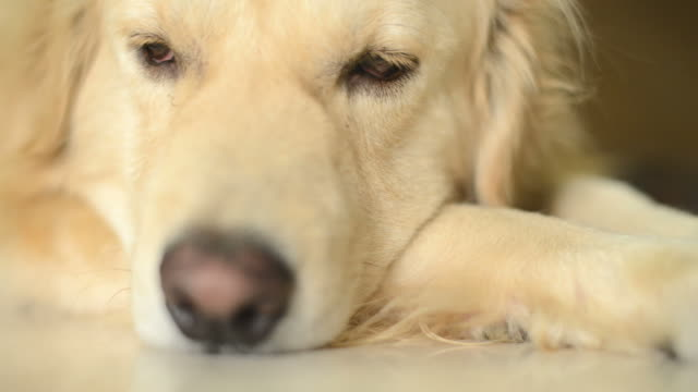 Lonely Golden Retriever Dog video