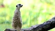 Lonely Meerkat video