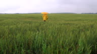Lonely person under umbrella walking away through the wheat field video