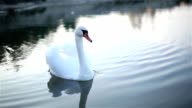 Lonely Swan swims in a small lake. video