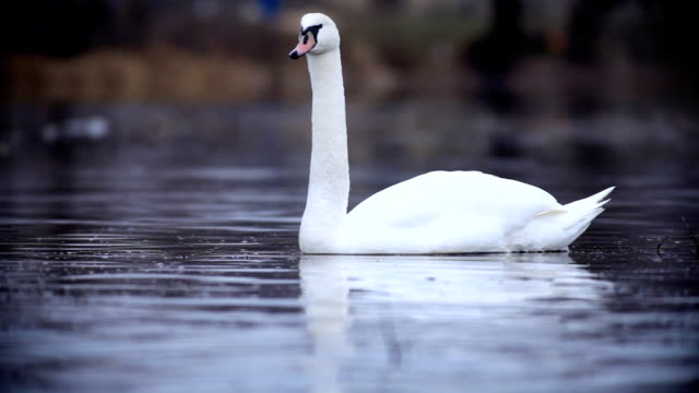 Lonely white swan swimming on the water. video