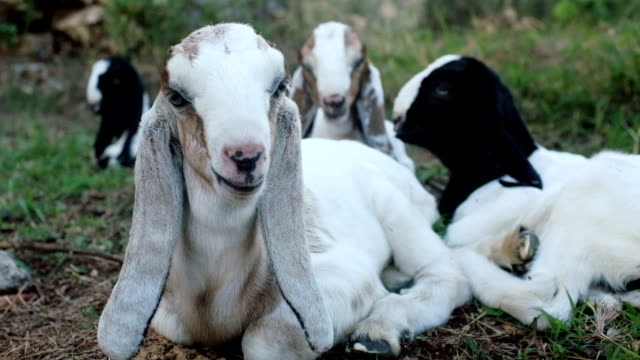 Long eared Anglo Nubian baby goats video