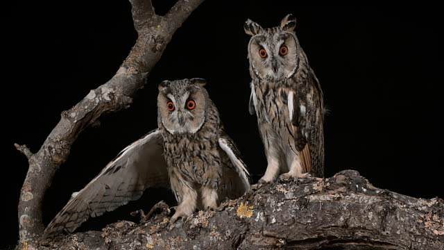 Long Eared Owl, asio otus, Adults, Pair, Normandy in France, Real Time 4K video