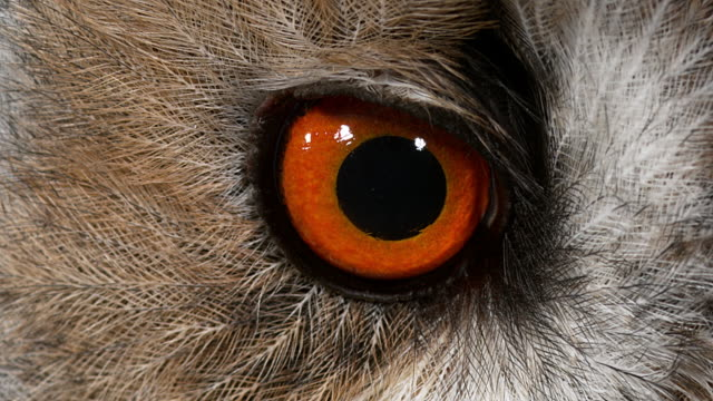 Long Eared Owl, asio otus, Portrait of Adult, close up of Eye, Normandy in France, Real Time 4K video