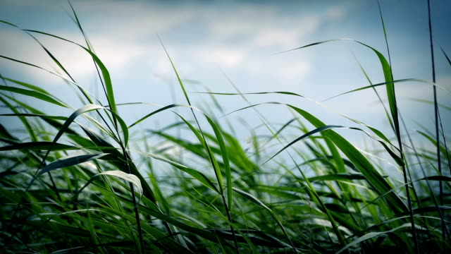 Long Grass Blowing In Wind video