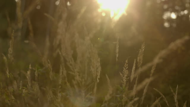 Long grass sunset video