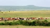 Long Horn African Cattle Herd video