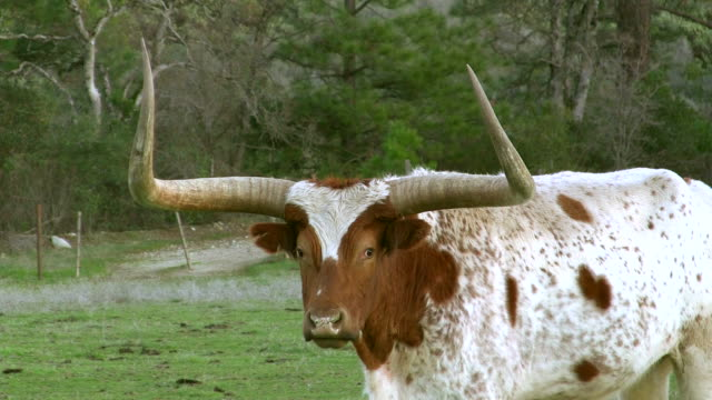 Long horn bull stares at camera video