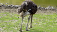 A long legged ostrich getting foods on the ground video