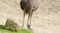 Long necked ostrich picking foods on the ground video