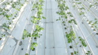 Long rows of green plants in a huge glasshouse. video
