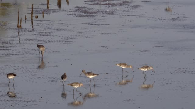 Long-billed dowitcher foraging food video