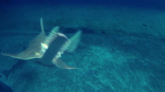 Longcomb Sawfish video