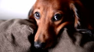 Long-haired Dachshund looking at camera. video