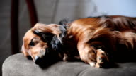 Long-haired Dachshund resting. video