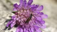Longhorn Beetle video