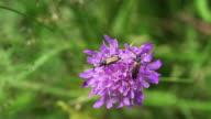 Longhorn Beetles video