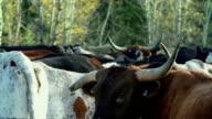 Longhorn Cattle in a holding pen video