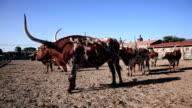 Longhorn cattle in Texas video