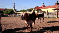 Longhorn cattles in Texas video