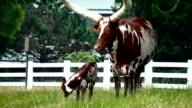 longhorn Watusi video