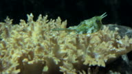 longhorned cowfish on coral video