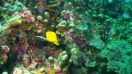 Long-nosed butterflyfish video