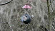 long-tailed tit (Aegithalos caudatus) and Eurasian blue tit (Cyanistes caeruleus) on bird feeder in winter. coconut video