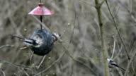 long-tailed tit (Aegithalos caudatus) on bird feeder in winter. coconut video