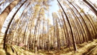 Looking around a larch forest video