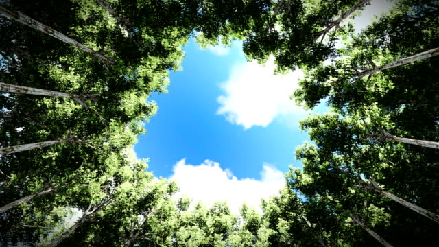 Looking up at a circle of redwood trees, timelapse clouds video