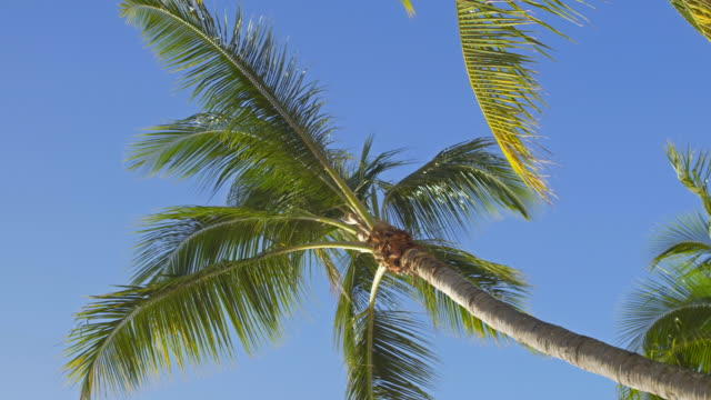 Looking up at bare palm tree on clear sky background video