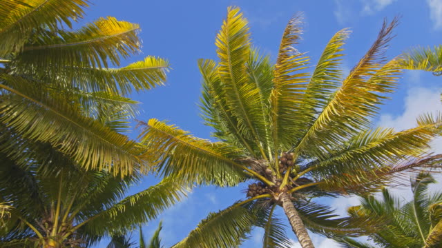 Looking up at coconut palm trees video