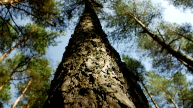 Looking up at pine tree tops against clear blue sky in the coniferous forest. Low angle view video