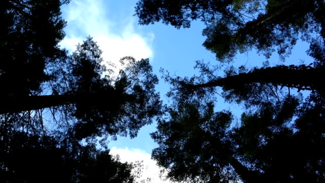 Looking Up At The Treetop Canopy video
