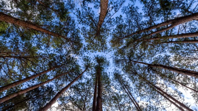 Looking up sky under Pine Tree Timelapse, 4k nature time lapse video
