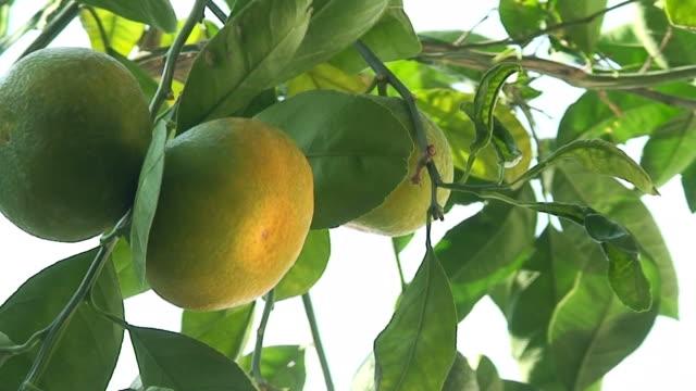 Looking up through a ripening mandarin tree video